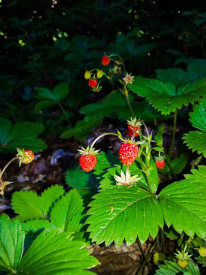 forest fruit, forest strawberry, wild strawberry, Mountain Jastrebac wild strawberry
