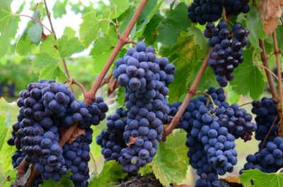 vranje vine, grapes, vine, serbian vine, south serbia vine